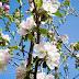 Niech no tylko zakwitną jabłonie...