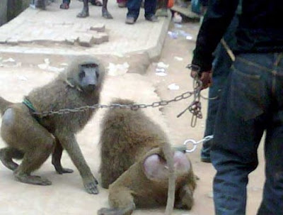 monkeys arrested in ikotun