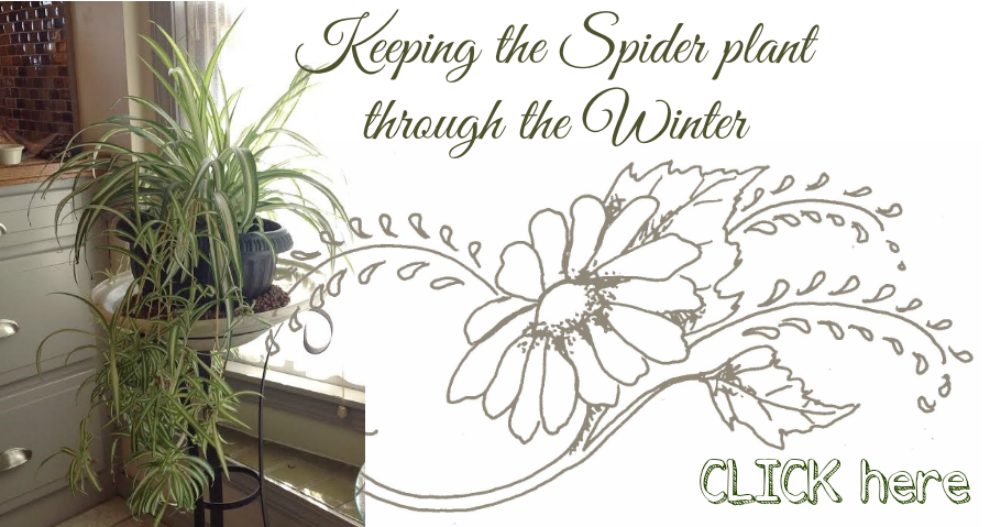 Keeping a Spider Plant
