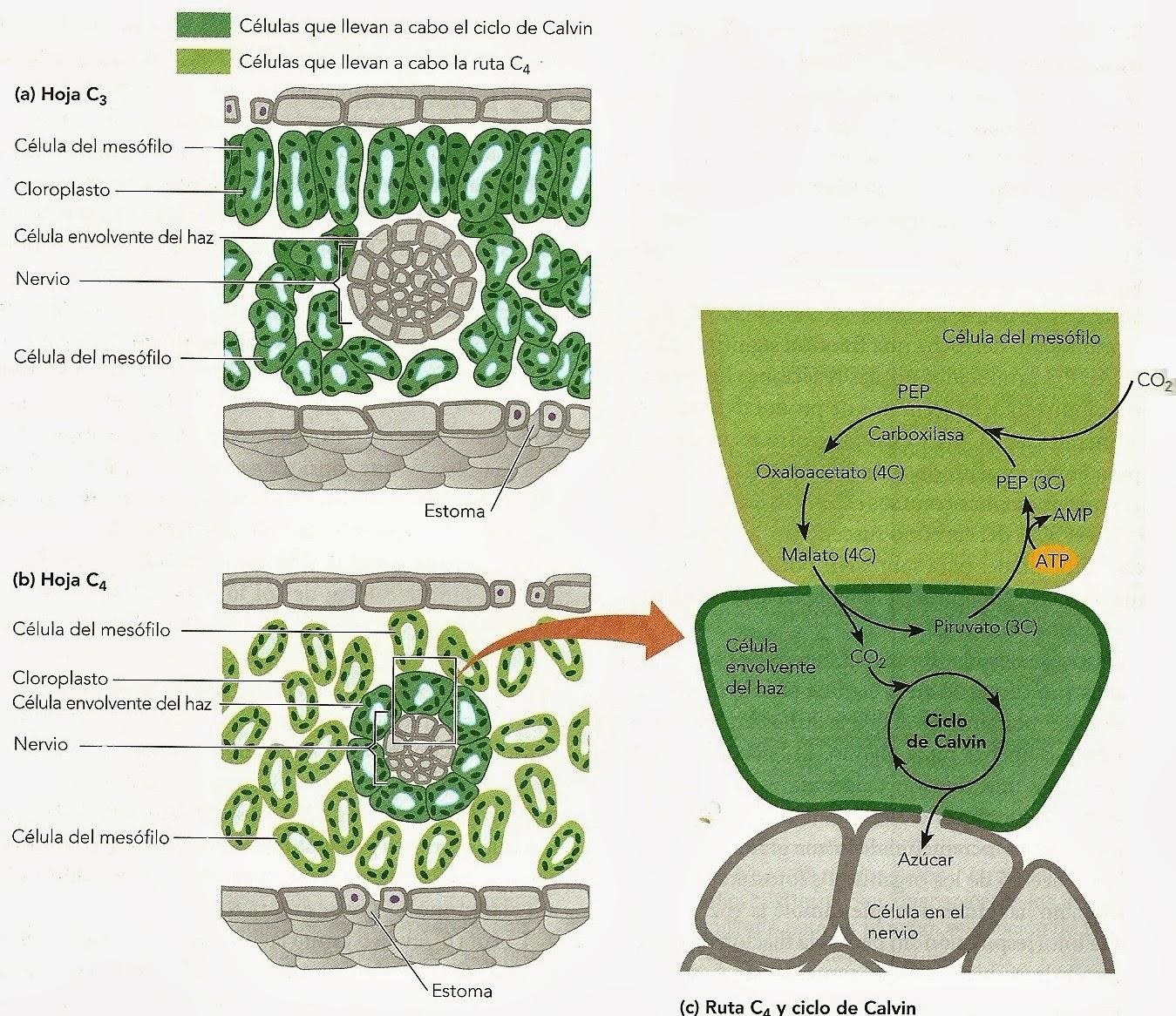 Fotosíntesis C4 | Apuntes de Fisiología Vegetal