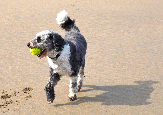 dog on beach with tennis ball