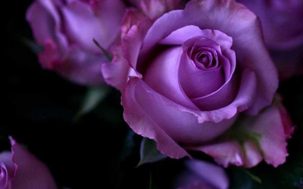 ý nghĩa của các loại hoa hồng