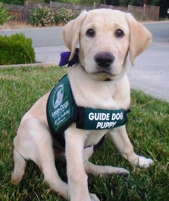 Guide dogs for the blind - photo#6