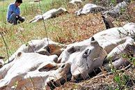 Miles de reses han muerto por la excesiva sequia en este verano