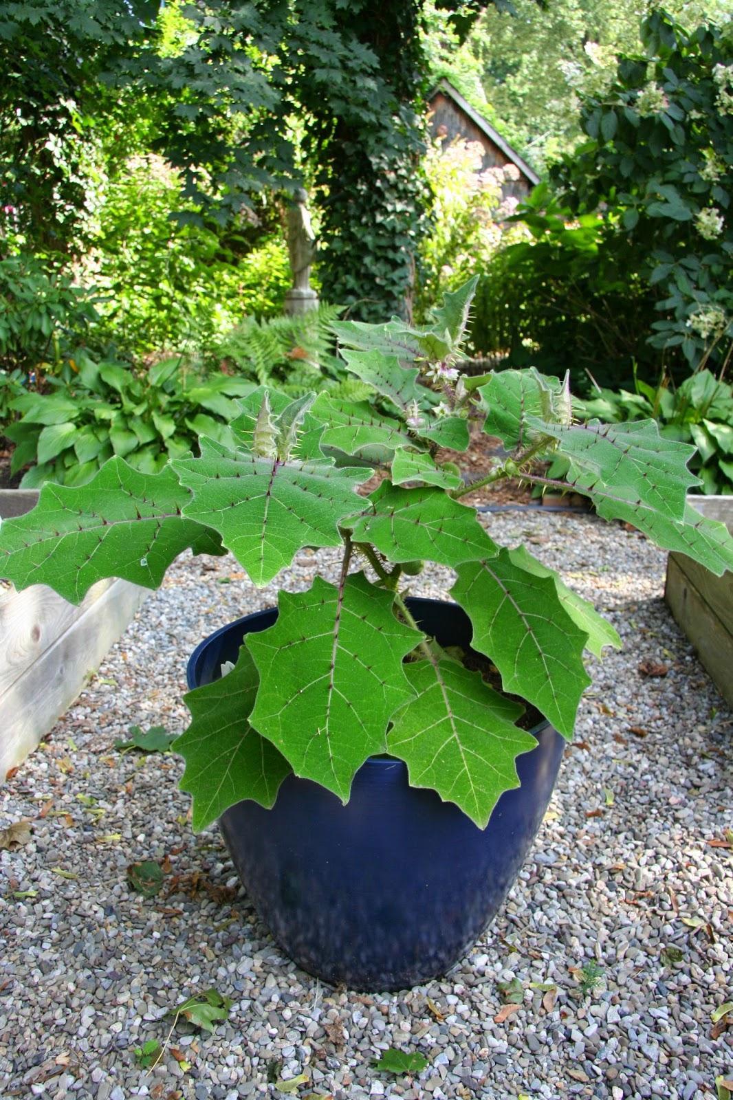 Naranjilla Plant