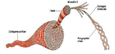 Collagen Chain