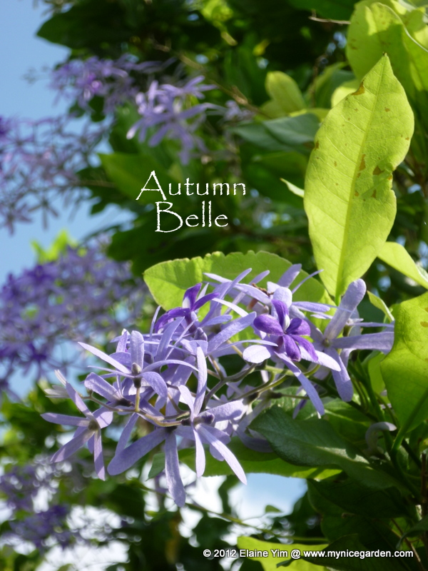 My Nice Garden Petrea Volubilis The Sandpaper Vine