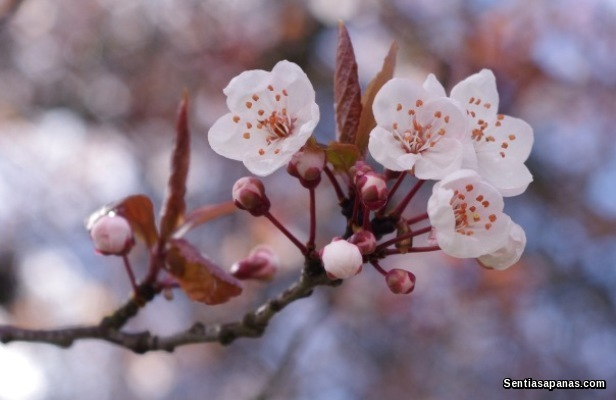 Festival Sakura