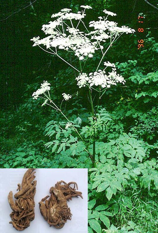 Angelica pubescens Maxim. f. biserrata Shan et Yuan