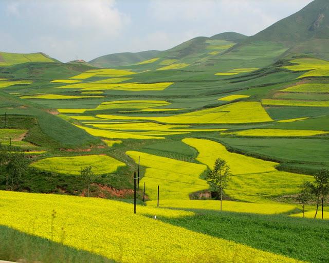 Yellow rapeseed flower in Gansu village