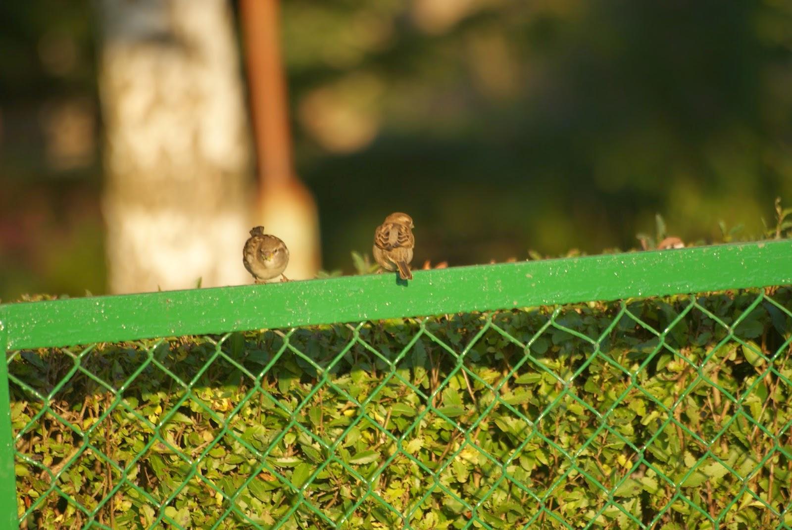 sparrows wróble jesień autumn