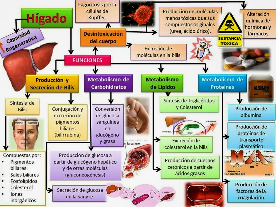 Moderno Hígado Ubicación Anatomía Humana Imagen - Anatomía de Las ...
