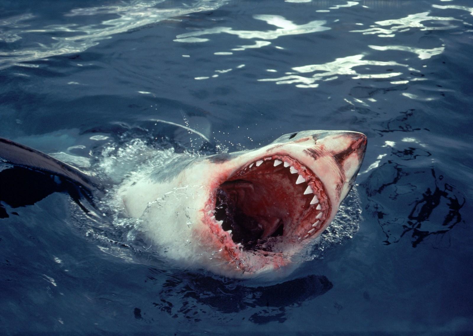 Killer whale eating shark
