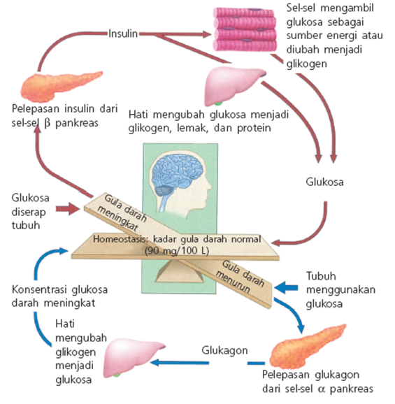 Insulin Amp Glukagon Biomedia