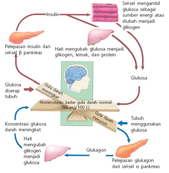 mekanisme sekresi hormon kortikosteroid