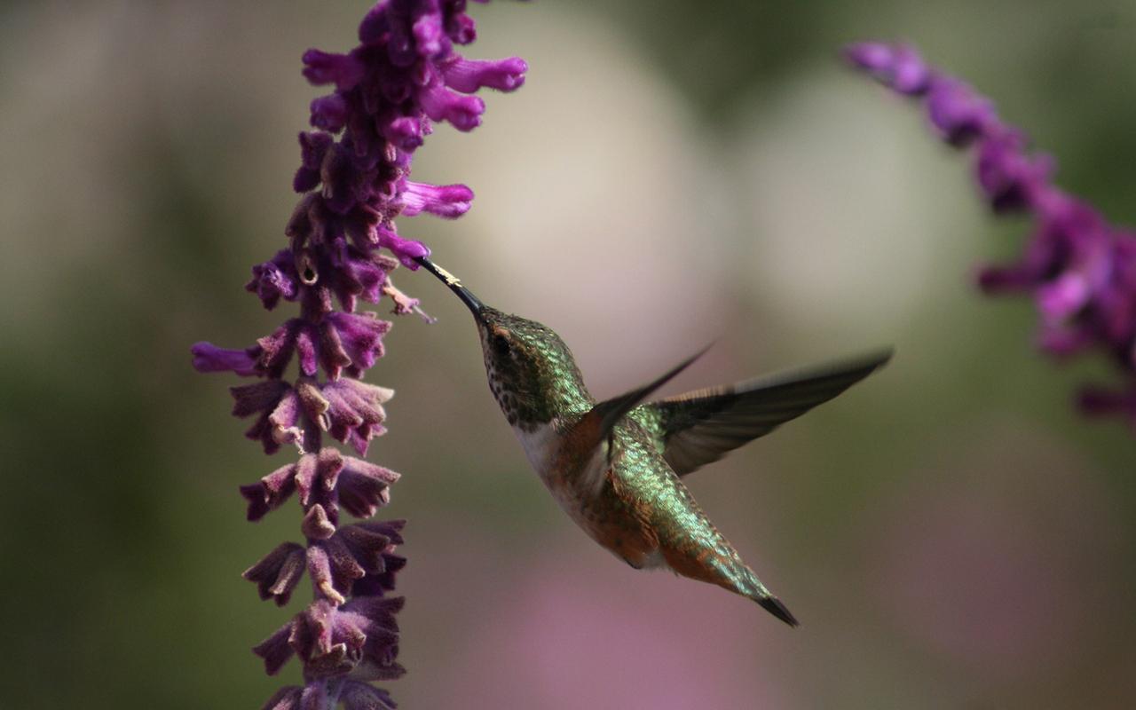 http://1.bp.blogspot.com/-xU77gbRqF8g/T1iHDff85wI/AAAAAAAAAlY/59mROFgNwII/s1600/Hummingbird_1280x800_6199.jpg