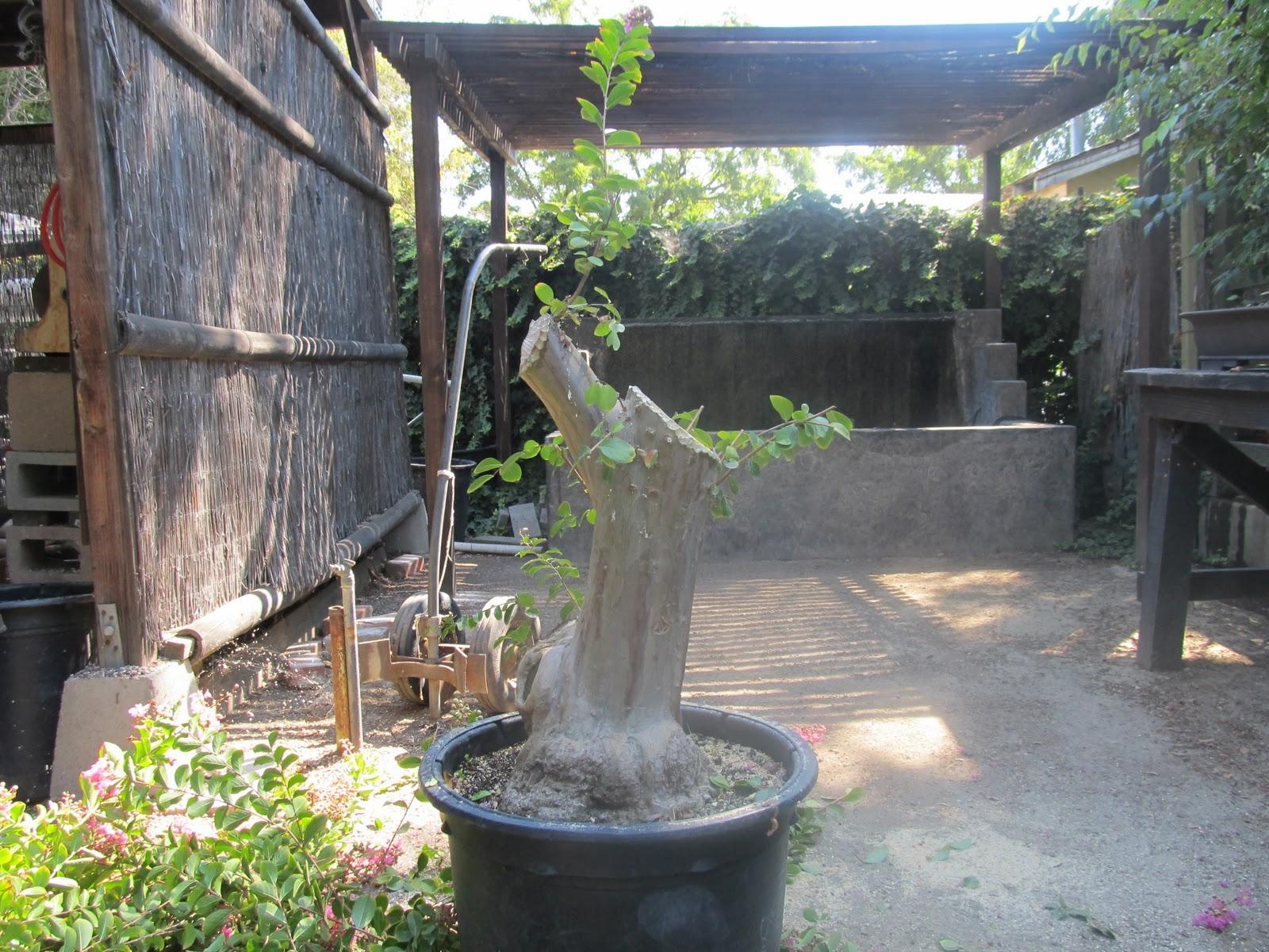 Bonsaibp39s Bonsai Blog Sculpting A Large Crepe Myrtle