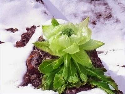 บัวหิมะ (Snow Lotus)