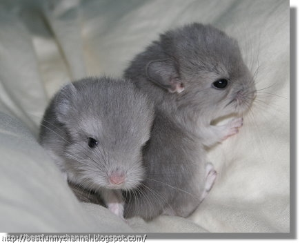 Two  chinchillas 2.
