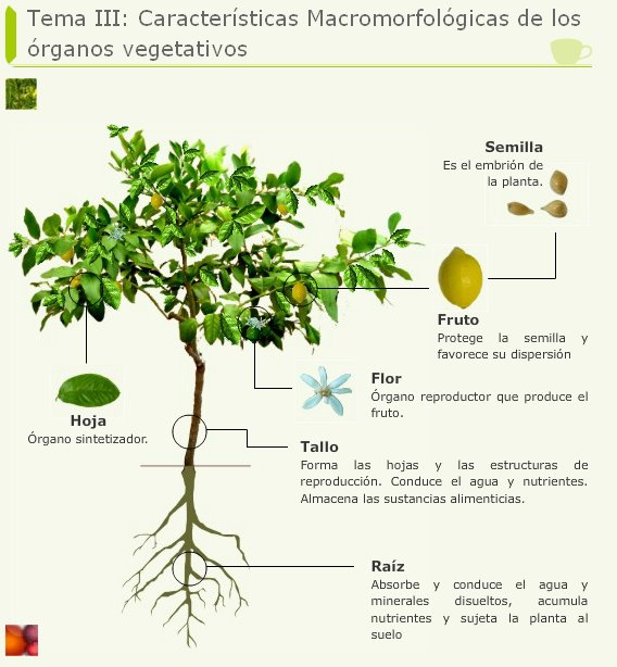 Temas de farmacognosia nueva infograf a introducci n for Raices ornamentales
