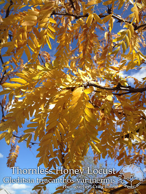 Thornless Honey Locust Fall Color