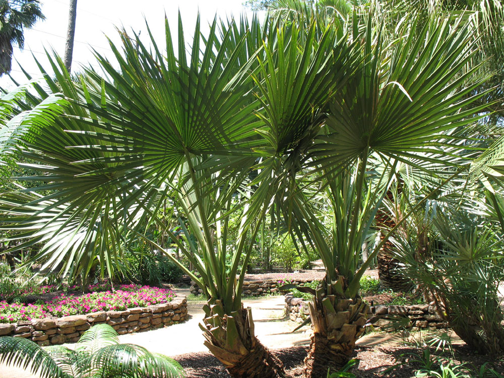 Floraonline palmeiras for Vendita palme da giardino prezzi