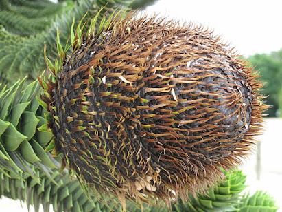 """Araucaria, (4 """"A"""", 2 """"R"""", un """"CUI"""") cône femelle"""