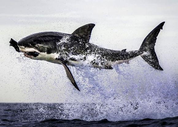 Tubarão no ar com uma foca falsa em sua boca