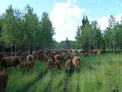 Cattle Drive to Rockies