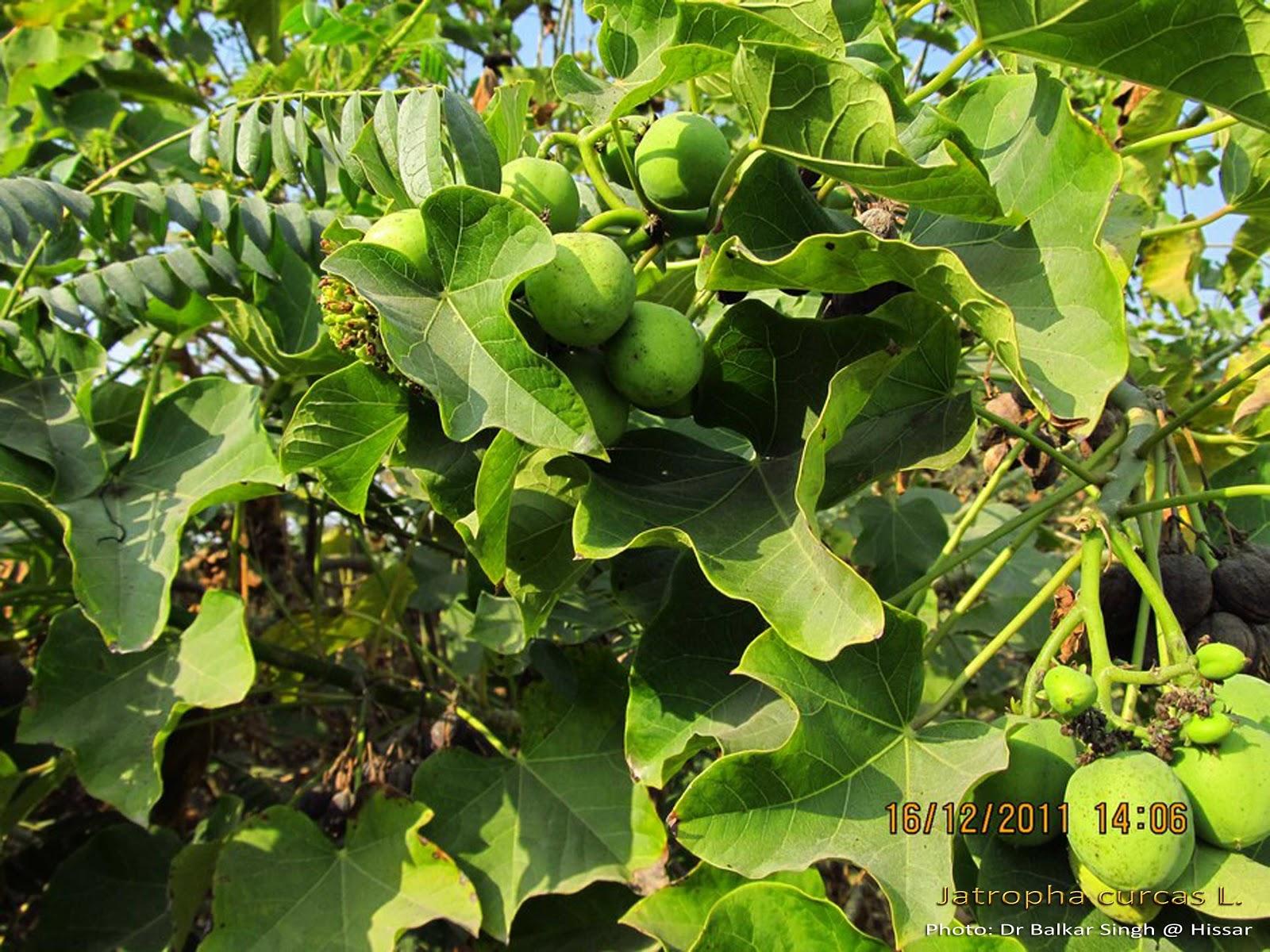 Physic Nut Barbados Nut Purgier-Nuß 100 Samen Jatropha curcas