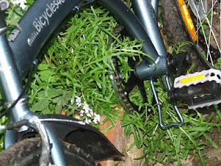 Wild rocket sprawling under bike and onto path