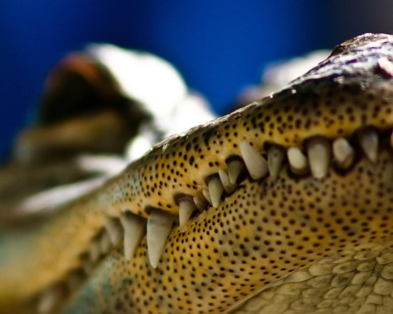 http://1.bp.blogspot.com/-xVYQUkf4HyI/TnDBeJmusTI/AAAAAAAAAI4/j-gbYJv4SuY/s1600/crocodile-wallpaper-13-708212.jpg