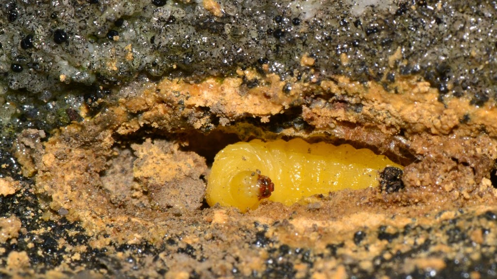 Overwintering mason wasp larva in mud nest in rock cavity