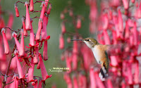 Hummingbird Photo and Picture 18