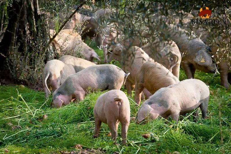 porco bísaro em castro vicente