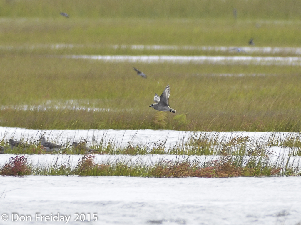 The freiday bird blog tides happen plus by the length of their as the tide rose at the wetlands institute today the short legged shorebirds became increasingly nervous the american golden plover flew around and nvjuhfo Images
