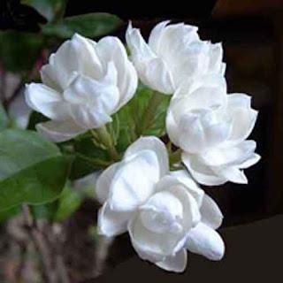 Melati putih