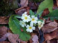 Exemplar de prímula o primavera