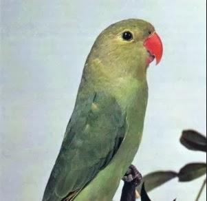 lovebird abyssinian