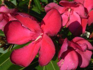 sanspareil nerium oleander emile sahut laurier rose oleander. Black Bedroom Furniture Sets. Home Design Ideas