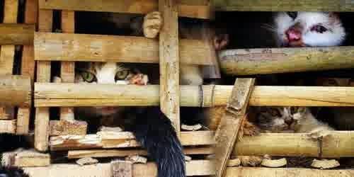 3 ton Kucing ini akan Di jadikan santapan dan di masak di vietnam