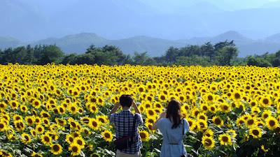 hoa hướng dương tại Nghệ An