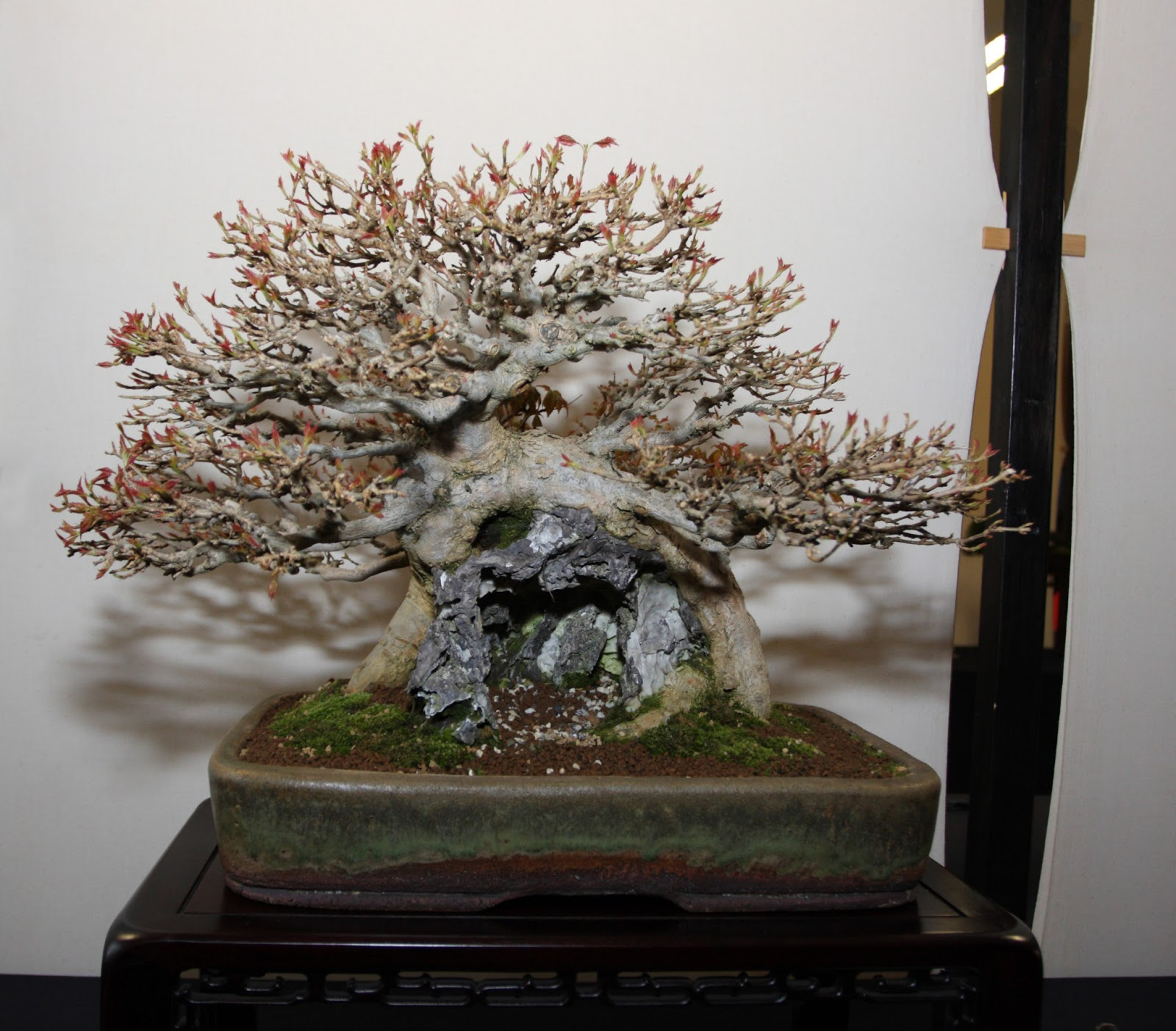 Steve Tolley39s Bonsai And Suiseki Blog April 2013