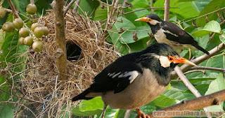 Habita Jalak Suren Yang Hampir Punah Dan Mengharuskan Penangkarnya Burung Jalak Suren Untuk Menjaga Kelestariannya Penampakan Sarang Burung Jalak Suren, MatahariMall