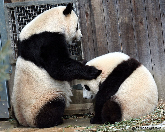 how to become a panda nanny
