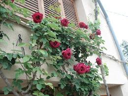 Rosales en Ponts