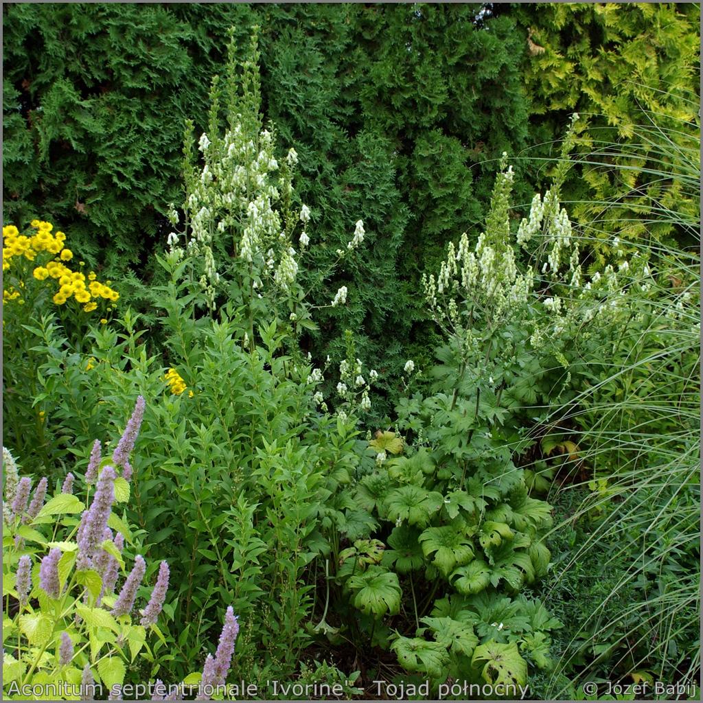 Aconitum septentrionale 'Ivorine' example of the application  - Tojad północny   przykład zastosowania