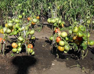 Поливаю помидоры вплоть до конца сезона