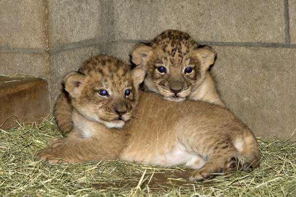 Some intresting facts about lions lion is one of the four big cats it