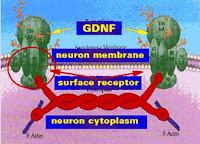 Neurturina factor neurotrófico